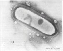 Clostridiumljungdahlii